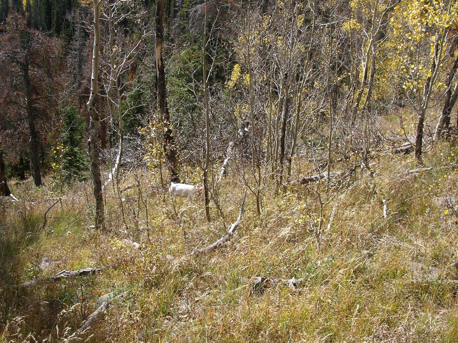 October Blue Grouse Hunting in Colorado | Upland Ways