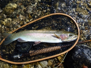 Big Trout on a Dry Fly