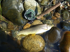 Brown trout in boulder strewn runs.