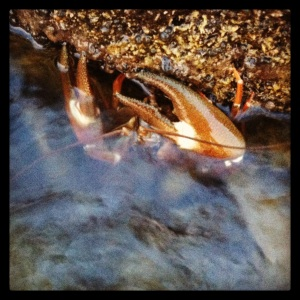 Crayfish: Big trout . . .  and otter food.