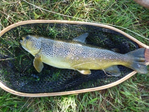 Beautiful Brown Trout taken on a CDC PMD from the Golden Run.