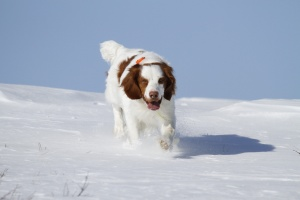 Charlie on his last ptarmigan hunt.