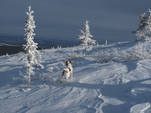 McCann's dog, Charlie, pointing willow Ptarmigan in Interior Alaska.