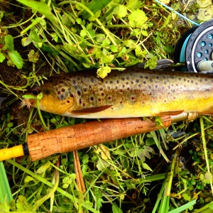 A buttery brown next to the Old Yellow Rod.